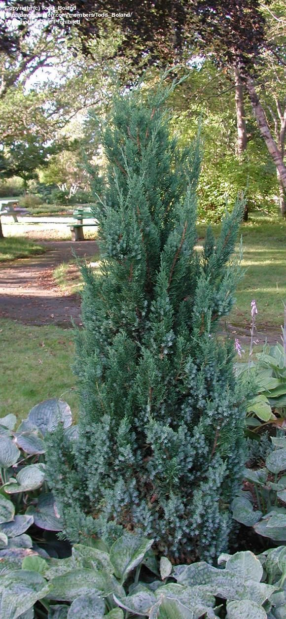25+ Blue Point Juniper Landscaping Walkway Pictures and Ideas on Pro