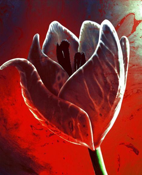 Marcin Oslizlo, tulip on ArtStack #marcin-oslizlo #art