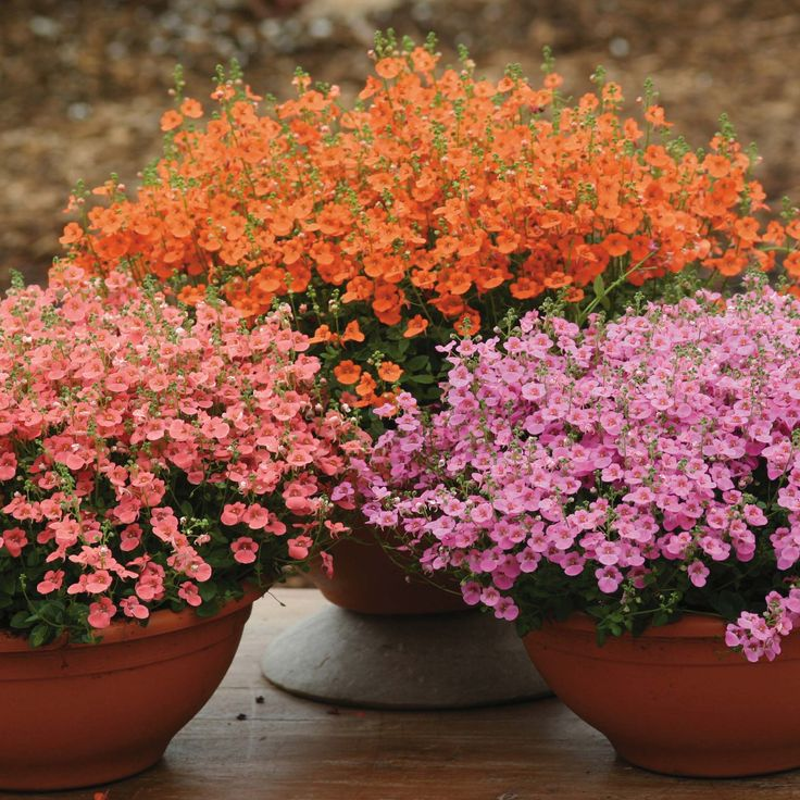 I came across a diascia at Home Depot a couple years ago and could not believe how it kept blooming all summer. I loved it.