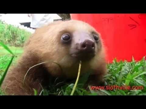 An Adorable Compilation of Squeaky Baby Sloths
