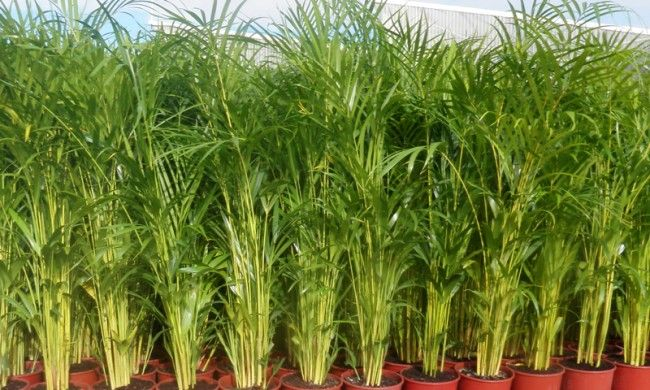 187 Quick Facts Golden Cane Palms Backyard Landscaping