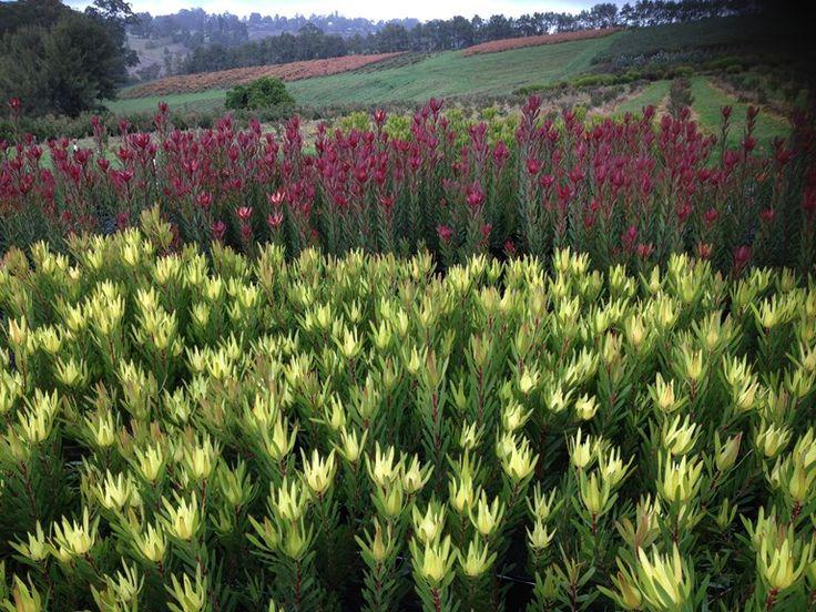 Proteaceae Leucadendron Safari Sunset, Leucadendorn Golden Mitre