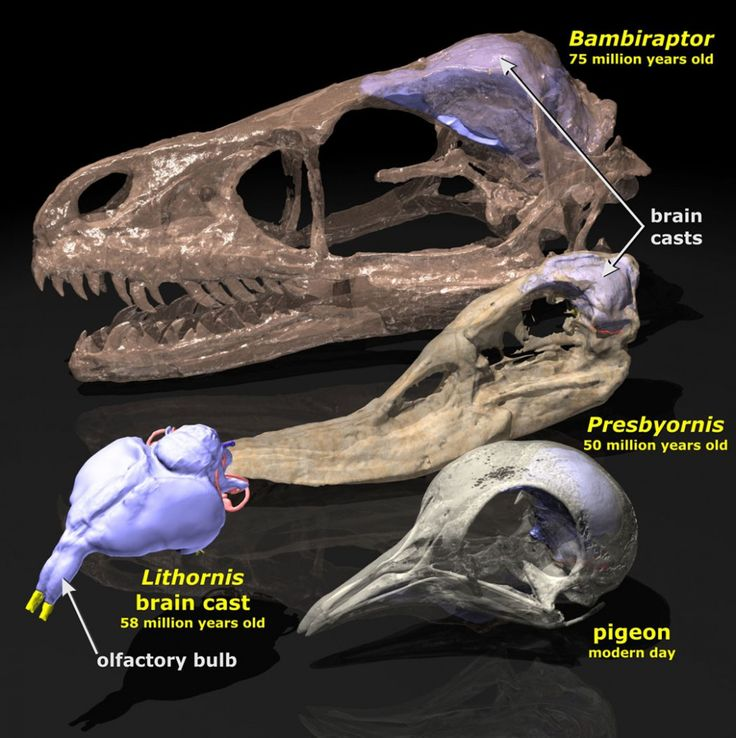 dinosaur relative brain size - Google Search