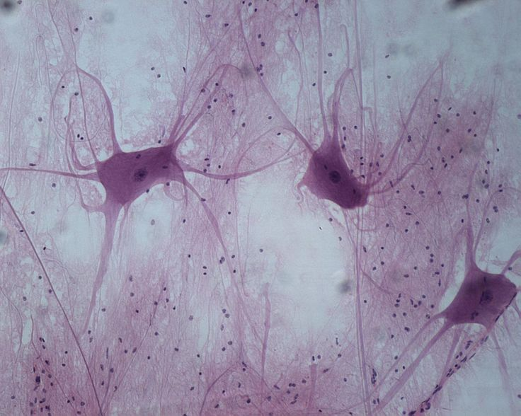 Nervous Tissue Description: Cells with cytoplasmic extensions  Function: Sensory reception and conduction of electrical impulses Location: Brain, spinal cord, and peripheral nerves