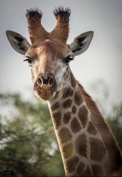 Giraffe, Hluhluwe-iMfolozi National Park, KwaZulu-Natal, South Africa
