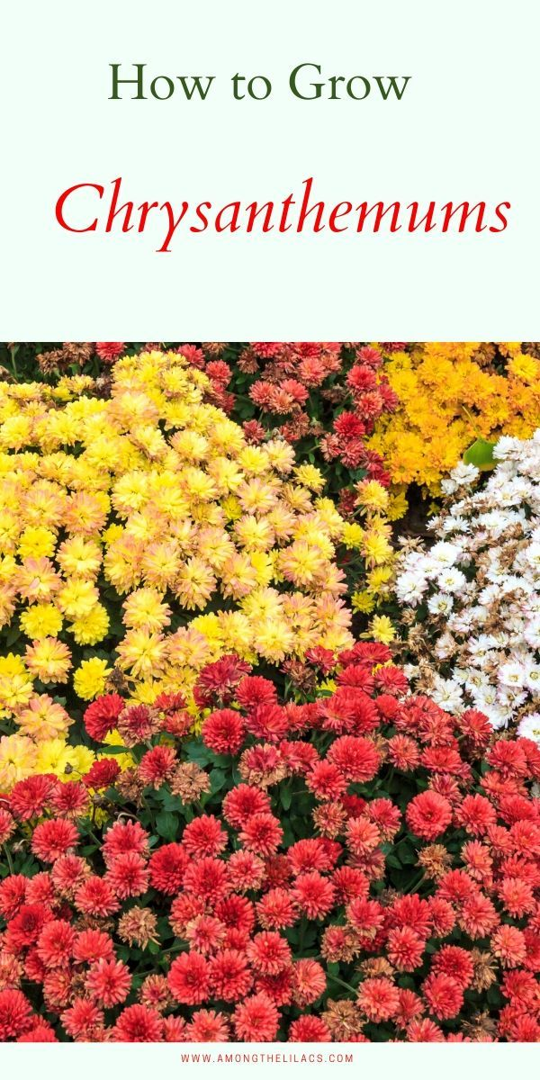 How To Care For Chrysanthemums In 2020