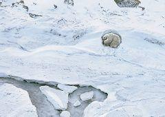 Polar Bears, Endangered. Photographer: Tim Flach