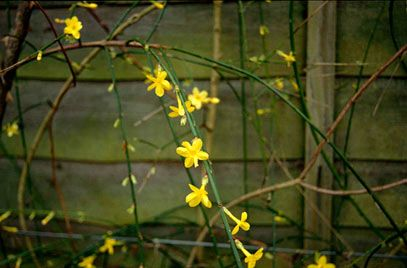This is the Winter Jasmine.  found mostly in Northern China, this flower is a brilliant yellow that is visible during the spring and winter seasons.  It can survive with both full sun and partial shade, but does require some shelter.
