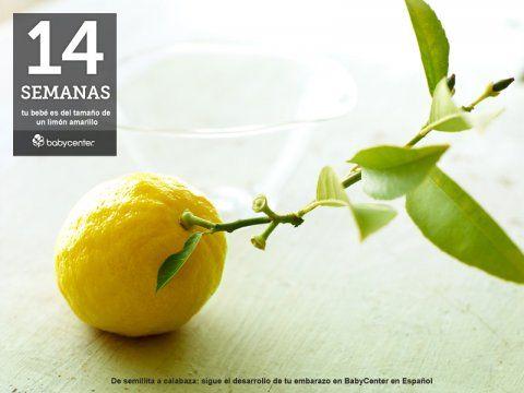 14 semanas. Tu bebé mide desde la cabecita hasta el final de la espalda un poco más de 9 centímetros (3,5 pulgadas). Tiene, más o menos, el largo de un limón amarillo.