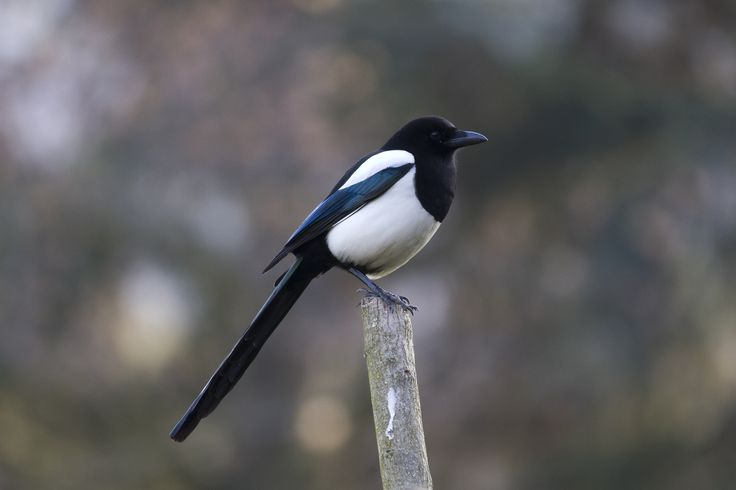 Eurasian magpie - Wikiwand