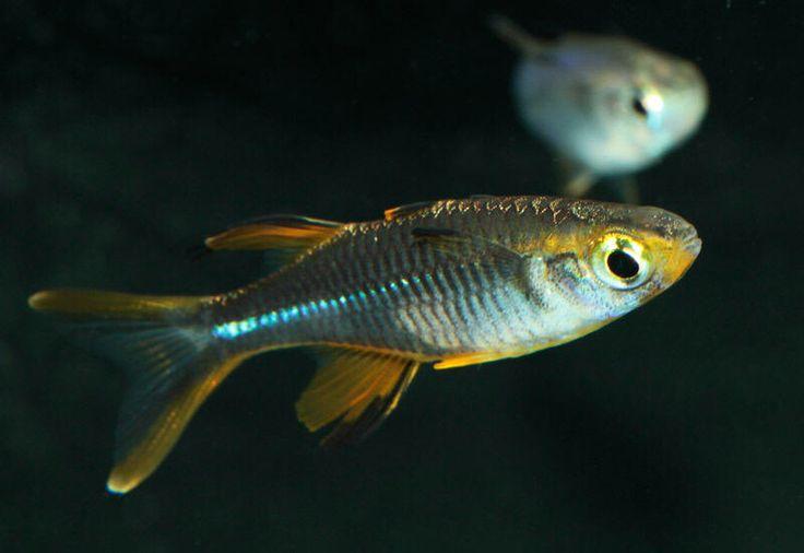 Lake Kurumoi Rainbowfish : ... Rainbow! on Pinterest Rainbow fish, Freshwater fish and Aquarium