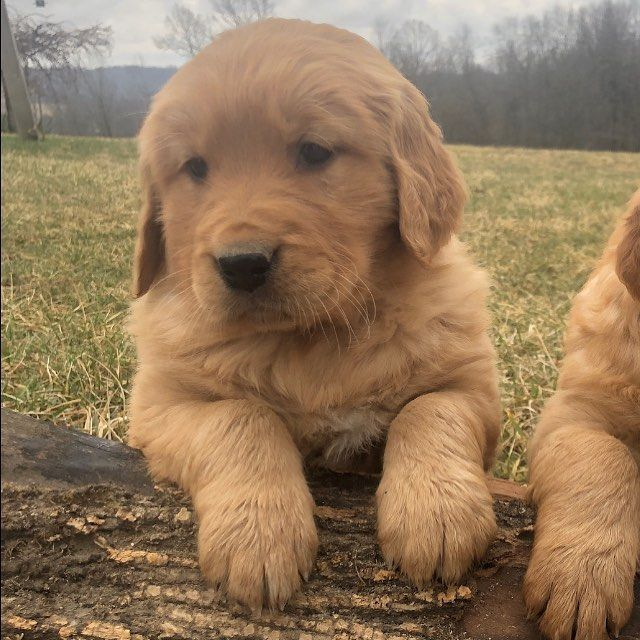 Glory Dawn Golden Retrievers On Instagram Dogloversclub