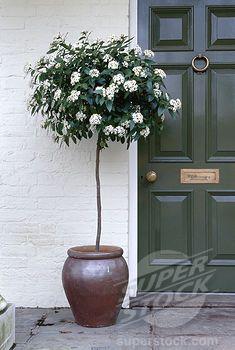 Stock Photo #4141-12552, standard viburnum viburnum tinus flowering in pot by door species native to mediterranean region