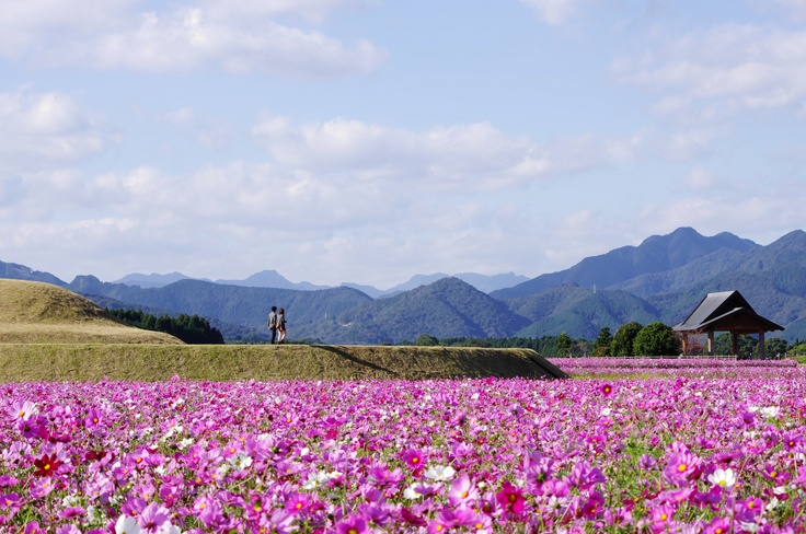 Cosmos (the Saitobaru Burial Mounds in Miyazaki Prefecture, in Japan)