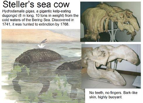 Steller's sea cow   Of Pezosiren portelli and Steller's sea cow