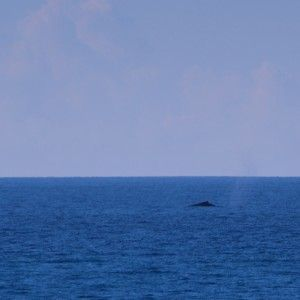 Whales surface encounters in Socorro Islands