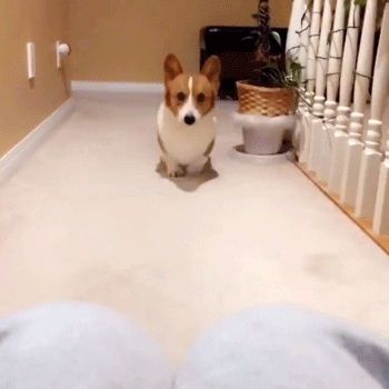 Cute Dog Rests Head On Owners Knees (gif)