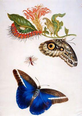 Botanical artist Maria Sybilla Merian (1647 - 1717)