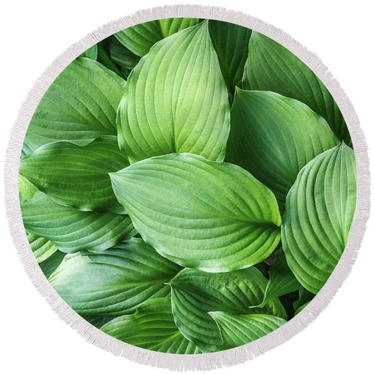 Beautiful Green Arc-shaped  Leaves Round Beach Towel. color, field, flora, floral, garden,  herb, leaf, leaves, macro, natural, nature, outdoor, pattern, streaks, structure, summer, texture, green leaves, carpet, green, background, arc-shaped streaks, close up, foliage, plant, botanical, garden, park, bath, bathoom, shower,  home, decor, comfort, interior, gift, towel,  fineartamerica, pixels, summer, beach, vacation, rest, travel, sunbathing, swimming