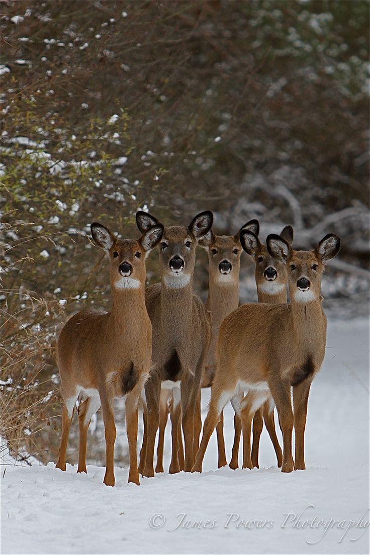 Christmas Deer  -- White Tail Deer