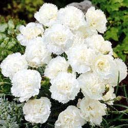 White Carnations - the official flower of the Belmont Stakes.