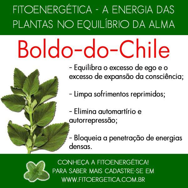 Boldo-do-Chile