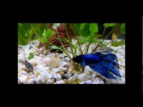 45 best images about betta life on pinterest gardens inc for What fish can live with bettas