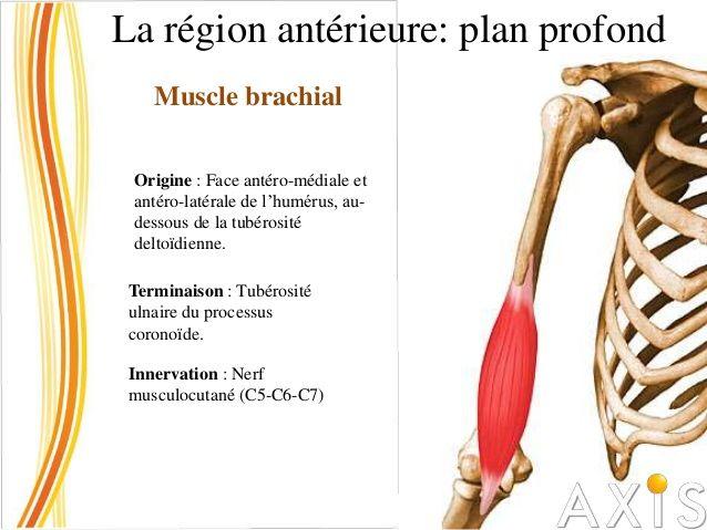 La région antérieure: plan superficiel Muscle biceps brachial Origine : - Le chef long du biceps brachial s'insère sur le ...