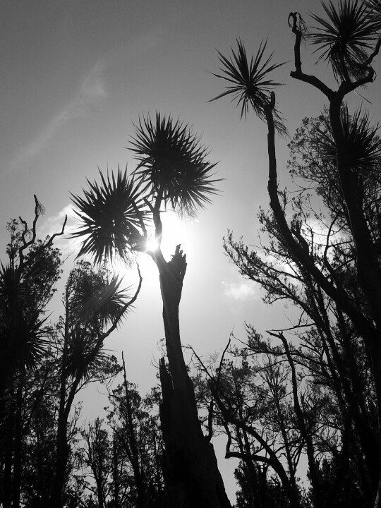 Cabbage trees Wanganui New Zealand & 33 best nz natura images on Pinterest | New zealand Beautiful ... 25forcollege.com