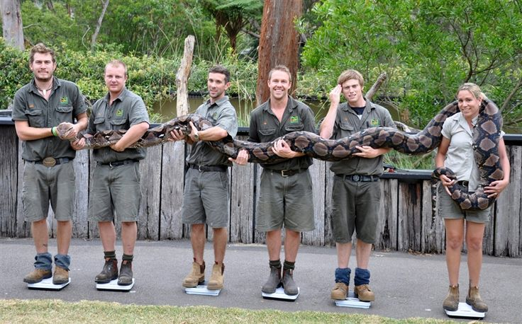 Zookeepers at the Australian Reptile Park stand on scales as they weigh a 21-foot-long python named Atomic Betty, on Jan 9. Reports state that the 14-year-old python weighed in at over 304 pounds.