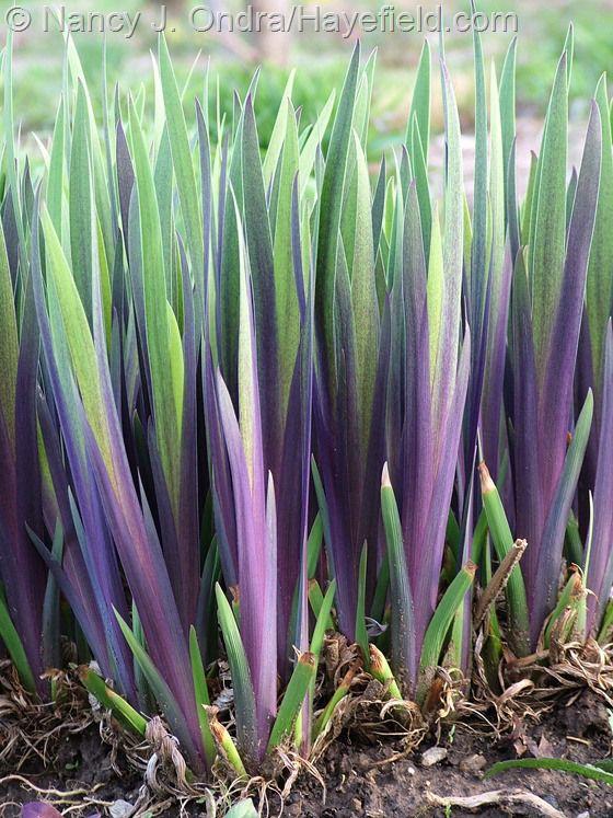 "Iris 'Gerald Darby'. Iris x robusta. 24"" tall. Blooms in May. Dark foliage in April."