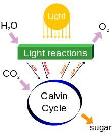27 best photosynthesis and cellular respiration images on pinterest a diagram of photosynthesis processes including income of water and carbon dioxide illumination and fandeluxe Gallery