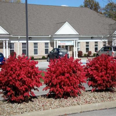 Dwarf Burning Bush I Want This For The Front Of House Landscaping Pinterest Garden Shrubs And Plants