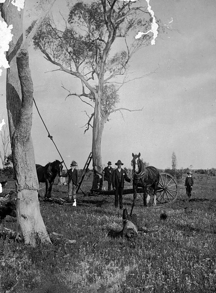 Land clearing in the Donald district. The trees have been ringbarked and horses are, apparently, being used to pull them over, c1905.