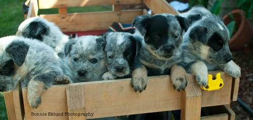 Adorable Australian Cattle Dogs for sale Born Sept 8th