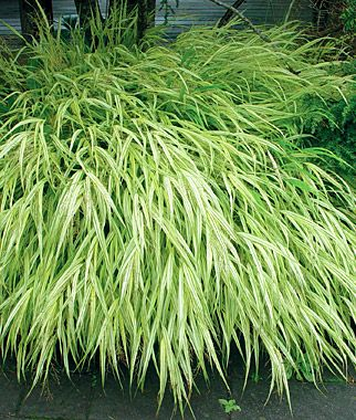 "Hakonechloa, Aureola... ""A grass tolerant of shade! 2009 Perennial of the Year. Richly golden variegated leaves form delicate looking, tough-as-nails mounded plants. Easy to grow and provides interest in all four seasons.""  *Search images online to see this plant used in gardens -very pretty & #DeerResistant."