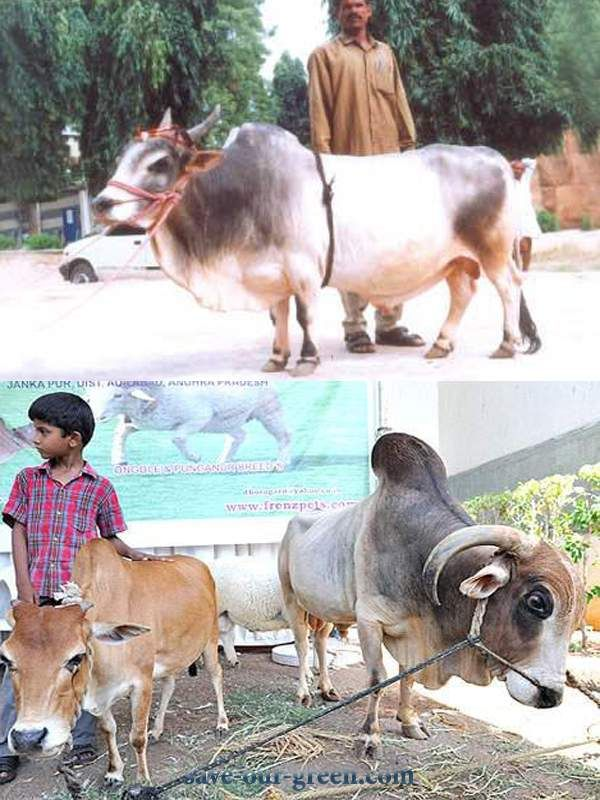 Save Our Green » Punganur Dwarf Cow: World's Shortest Cow