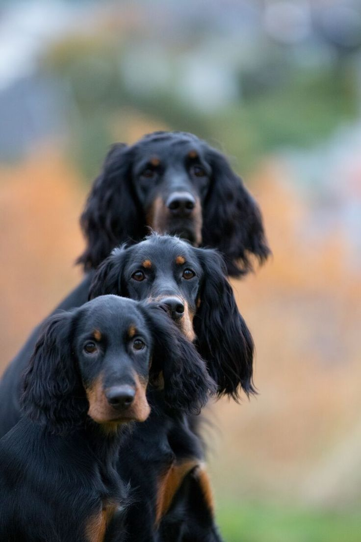 Gordon Setters ~ Classic Look & Trim.  They are beautiful dogs!
