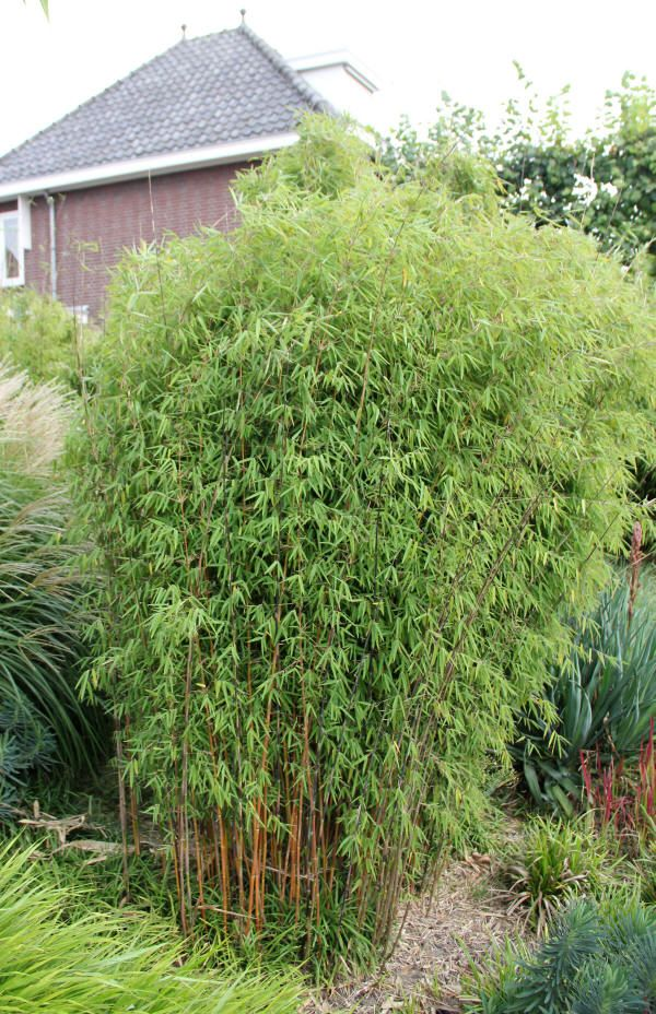 Fargesia sp jiuzhaigou the perfect bamboo for our yard for Specimen trees zone 5