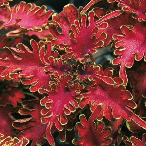 Proven Winners | Ruffles Bordeaux - Coleus - Solenostemon scutellarioides