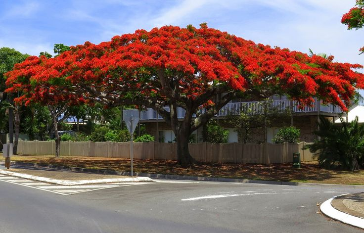 Poinciana Tree, Brisbane, Queensland, Australia