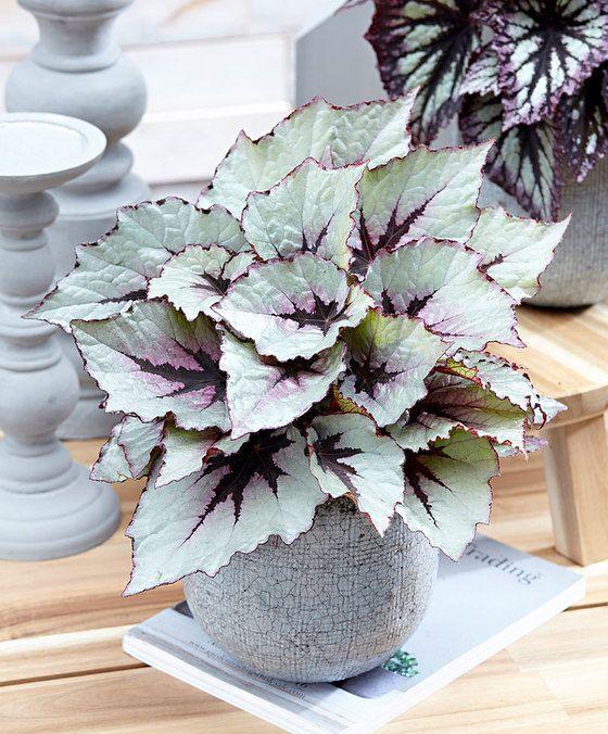 Leafy Begonia Revolution® 'First Blush'