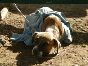 Dog Hogtied and Abandoned, Then and Now. Truly amazing!!!!!