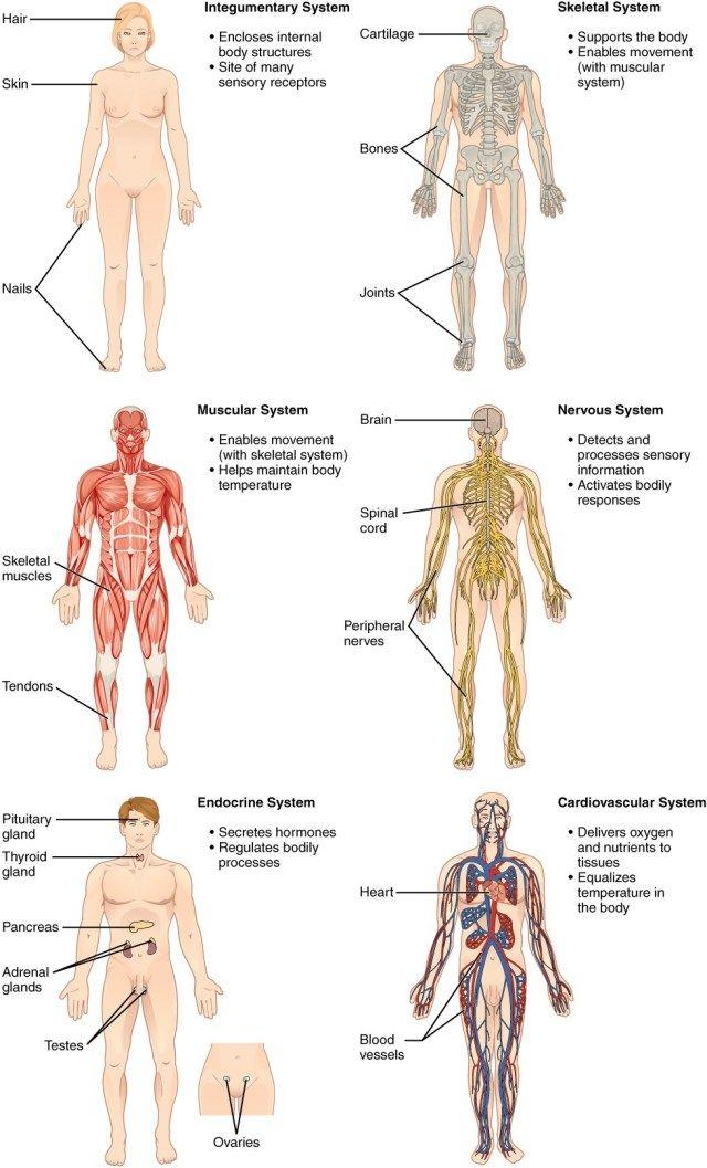 Human Integumentary System Diagram Koibana Info Human Body Anatomy Human Body Organs Body Anatomy
