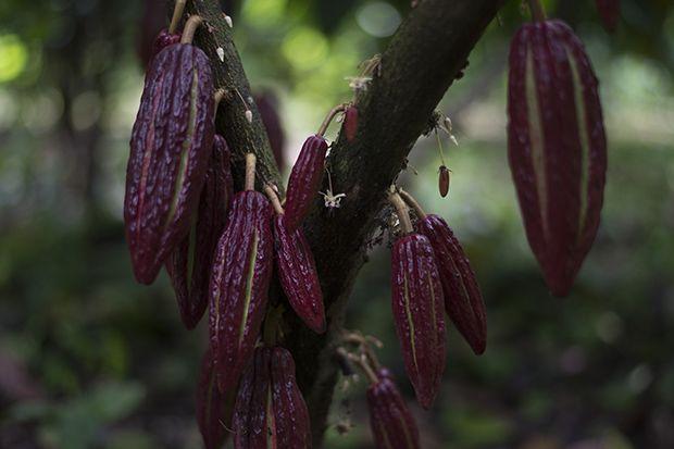 De cultivo de cafetales a producción de cacao