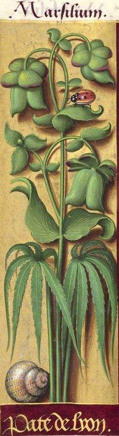 Pate de lyon - Marsilium (Helleborus fœtidus L. = ellébore. Pour Jussieu c'est le H. niger «pied-de-griffon») -- Grandes Heures d'Anne de Bretagne, BNF, Ms Latin 9474, 1503-1508, f°147v