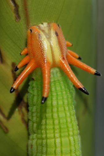 Opsiphanes cassiae, Cassia's Owlet, Crowned Caterpillar