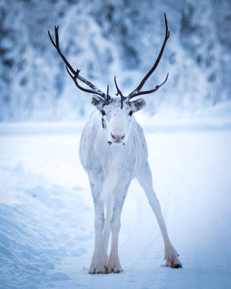A white Reindeer posing for the camera ❄️