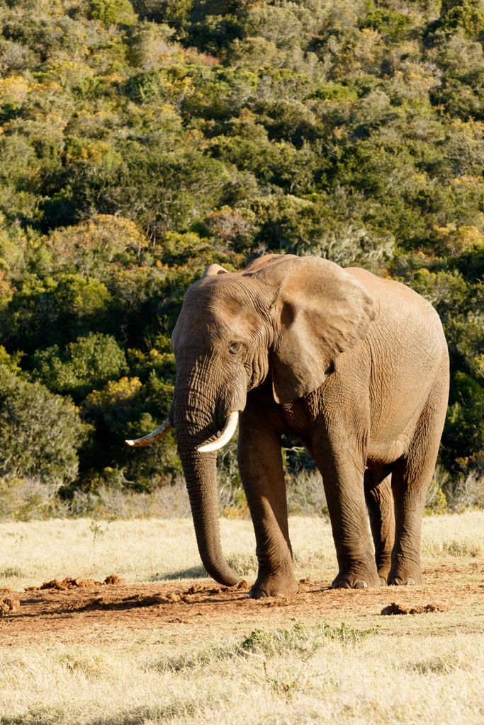 I need Water - African Bush Elephant I need Water - The African bush elephant is the larger of the two species of African elephant. Both it and the African forest elephant have in the past been classified as a single species.