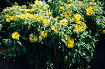 Herbaceous: Hooker inula